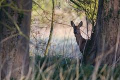 Roe Deer (PINNACLE PHOTO LOG) Tags: wild fur countryside spring woking eyes meadow shy british billard roedeer capreoluscapreolus