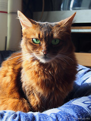 Those eyes... (Finn Frode (DK)) Tags: pet cats animal contrast cat pose denmark indoor olympus greeneyes som somali somalicat caithlin happycaturday omdem5 dusharacathalcaithlin ruddyfur