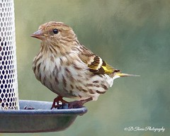 Pine Siskin (Denise Trocio (D Trocio Photography)) Tags: bird texture nature outdoors feathers feeder digitalpainting pinesiskin willife dtrociophotography