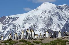 King Penguins enjoying the view (Tim Melling) Tags: mountains georgia penguin king south aptenodytespatagonicus timmelling