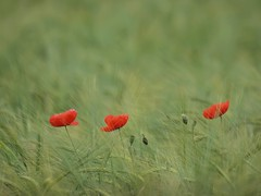Trois coquelicots *---- ° (Titole) Tags: red green field barley three poppies coquelicot coquelicots friendlychallenges titole nicolefaton