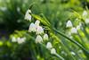 (rottnapples) Tags: green nature garden whiteflower spring lily bokeh may botanicgarden earlyspring lilyofthevalley chicagobotanicgarden whiteandgreen sadflower