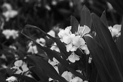 Fleur (6455) (Jorge Belim) Tags: flora flor pb 70200 canoneos50d
