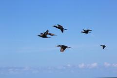 IMG_3423 (lucastambor) Tags: bird libertad freedom fly libert