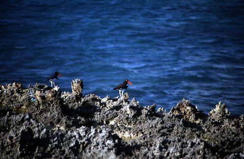 "Bahamas 1989 (354) Eleuthera: Amerikanischer Austernfischer, Harbour Island • <a style=""font-size:0.8em;"" href=""http://www.flickr.com/photos/69570948@N04/24011679849/"" target=""_blank"">View on Flickr</a>"