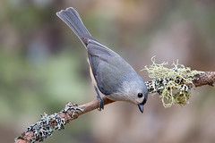 Tufted titmouse (Phiddy1) Tags: ontario canada birds niagarafalls titmouse tuftedtitmouse