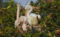Pelican Pair on Nest (Raj the Tora) Tags: pelicans birds couple nest platform aves breeding brooding breed roosting avian nesting roost brood pelecanusphilippensis vedanthangal greypelicans treenest birdpair spotbilledpelicans vedanthangalbirdsanctuary birdcouple platformnest pelicancouple pelicanpair nestontree vedanthangalsanctuary coupleofpelicans darkpelicans pairpelicans couplepelican pelicanscouple