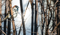 Passero (Alessandro Di Natale) Tags: bird nature nikon natura tamron avifauna uccello 70300 d3300