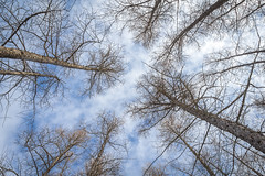 Tamarack Sky (Brett Whaley) Tags: february tamarack 2016 larixlaricina anokasandplain uncasdunessna