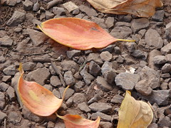 starr-061225-2927-Diospyros_kaki-fall_colors_leaves_on_ground-Olinda-Maui (Starr Environmental) Tags: diospyroskaki