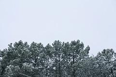 Nieve. (elojeador) Tags: nieve rbol pino tronco rama arboleda abeto aguja cedro confera calaralto ramaje elojeador conminia