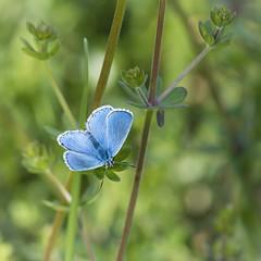 Douceur printanire (Mariette80) Tags: papillon argusbleu