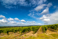 Vineyard near Carcassonne (France) (clodio61) Tags: summer plant france color green nature field clouds rural skyscape landscape photography countryside vineyard europe day natural wine outdoor nobody hills land agriculture aude carcassonne cultivation languedocroussillon limoux cultivate