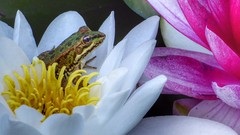 In The Lily Pads (Thank you for 4M+ views.) Tags: white nature yellow landscape pond purple amphibian frog ibiza lilies spa santaeulalia atzarro nickfewings