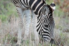 Burchell's zebra (hillarycarter) Tags: zebra krugernationalpark burchellszebra
