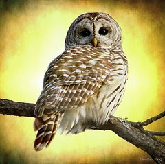 She sees right into the heart of me (edited) (heatherkingtheowlqueen) Tags: winter sunset inspiration snow ontario canada tree bird nature beautiful yellow intense branch nocturnal wildlife ottawa flight goddess fluffy gift owl perch stare predator popular inspire gaze gratitude motherearth owls birdofprey barred barredowl naturephotography wildlifephotography heatherking locustgirl