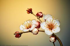 2016    Prunus mume 01 ( sakae) Tags: hair out pin time cnn ornaments kimono resin sakae  prunus      kanzashi     mume             chromavision interbee2015