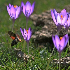 Sphinx sur colchique / Humming-bird Hawk-moth / Macroglossum stellatarum (Jean-Paul Valois) Tags: butterfly insect crocus papillon vol insecte colchique