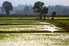 Ayutthaya_0311 (JCS75) Tags: canon thailand countryside photo asia r asie ricefield paysage campagne riz thailande riziere ayutthaya rizire