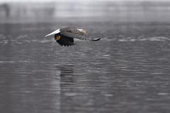 Eagle-46808.jpg (Mully410 * Images) Tags: winter snow cold bird ice water birds wisconsin river eagle birding baldeagle raptor mississippiriver birdsinflight birdwatching prescott birdsofprey stcroixriver