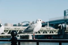 160207_071_5D3_6330 (oda.shinsuke) Tags: bird river    vsco