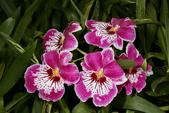 Miltoniopsis Hajime Ono 'Okika' (Nurelias) Tags: flowers flores orchid flower color macro fleur beautiful forest photography hawaii james flora nikon rainforest colorful orchids farm nursery orchidaceae tropical orquidea hilo orchidee makro fang flore orchideen d7100 orchidales