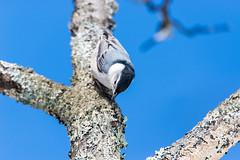 quabbinwinter2016-385 (gtxjimmy) Tags: winter bird nikon massachusetts newengland reservoir quabbin tamron nuthatch songbird quabbinreservoir d600 watersupply nikond600 150600mm
