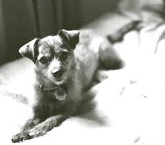 31410014 (Billie the Mixed Terrier) Tags: coyote blackandwhite dog cute miniature mutt mixed terrier billie