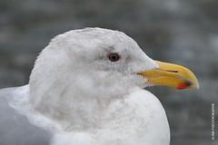 Gull (JSB PHOTOGRAPHS) Tags: bird nikon bokeh seagull gull d600 200500mm bokehlicious jsb7504