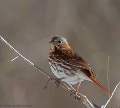 Fox Sparrow (AnthonyVanSchoor) Tags: park state sparrow valley fox patapsco nikond7100 tamron150600mmtelephotolens