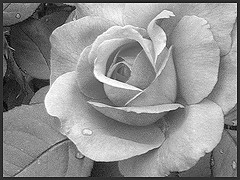 MORRIS (PHOTOPHANATIC1) Tags: roses philadelphia rose morris ashowoff