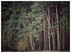Scots Pines (Damian_Ward) Tags: wood trees forest woodland photography oxfordshire oxon scotspines scotchpines damianward ©damianward