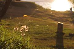 Backlighting flower (Douglas Pfeiffer Cardoso) Tags: flowers light sunset summer brazil sun flower nature brasil backlight contraluz flor portoalegre guaba riograndedosul backlighting