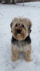 Curly Q (DDA1) Tags: cute curly adopt doggie adoptable yorkiepoo saveapetilorg