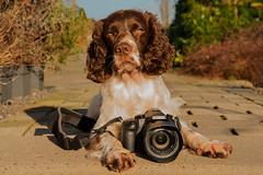 7/52 ZigZag 2016 (Flemming Andersen) Tags: dogs denmark hund dk zigzag jelling 52weeksfordogs regionsyddanmark