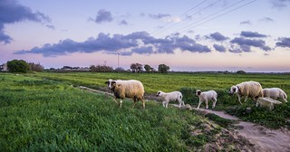 Sheep from Houaria, Tunisia