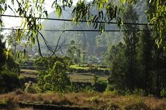 Gemseanbau in der Batur-Caldera; Bali, Indonesien (2) (Chironius) Tags: trees bali tree indonesia rboles landwirtschaft boom arbres rbol albero bume arbre rvore baum trd indonesien batur aa