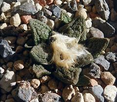 Ariocarpus fissuratus v.hintonii (resenter89) Tags: cactus mexico mix grasse soil mineral piante succulente ariocarpus fissuratus bravoanus vhintonii