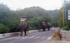Working elephants of Jaipur, India (Animal People Forum) Tags: india elephant animals asian riding elephants mammals workinganimals jaipur asianelephant