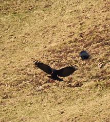 Chough-1 (rdspalm) Tags: ireland birds birdwatching chough nikond810