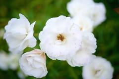 Dotted white flower (petersaputra) Tags: whiteflower sony voigtlander bunga a7 taman a7ii nusantara a7m2 closefocusadapter vmeclosefocus a7rii a7rm2