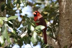 Northern cardinal (benth0s) Tags: bird virginia orlando cardinal florida uccelli northern rosso cardinalis cardinale