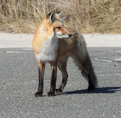Red Fox (Vulpes vulpes) (Nature In a Snap) Tags: red nature animal mammal berkeley outdoor wildlife nj fox ibsp 2016 vulpes