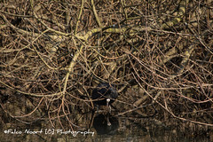 Meerkoet (falconoortphoto) Tags: nikon nest nederland lente flevoland almere meerkoet nikond5200 falconoort