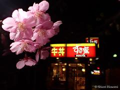 Prunus lannesiana cv. Kawazu-zakura (Shiori Hosomi) Tags: flowers plants japan night cherry tokyo nocturnal nightshot blossoms  sakura february   prunus rosales  2016  rosaceae    noctuary   flowersinthenight  noctivagant 23