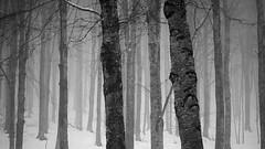 forest (Stefano Rugolo) Tags: pentaxk5 forest trees 2016 montisimbruini lazio italy snow winter fog landscape plant tree nature faggeta 169 smcpentaxm50mmf17 stefanorugolo