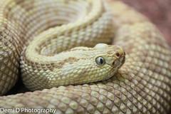 leucisticdiamondback01 (1 of 1) (coldtrance) Tags: zoo back reptile snake wildlife conservation diamond exotic rattle venomous leucistic