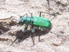 Cicindela denverensis, male (tigerbeatlefreak) Tags: nebraska tiger beetle coleoptera cicindela carabidae cicindelinae denverensis