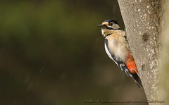 Pic peiche (Claude Pokropek) Tags: sony tamron oiseau a77 hautegaronne stlon 150600