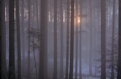 Wintersonne im Forst (bolliger51) Tags: sunset tree schweiz sonnenuntergang eveningsun natur bern che wald spruce kirchberg enchantedforest magicforest abendstimmung spruceforest forst winterwald piceaabies winterwood norwayspruce zauberwald winterforest kantonbern forestsunset maerchenwald fichtenwald nebelstimmung wirtschaftswald forestatsunset btikofen fichtenforst forestintheeveningsun spruceforestinmist schweizsuissesvizzeraswitzeraland